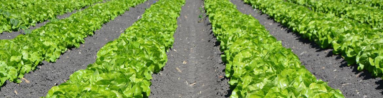 Imagen de hortalizas cultivadas