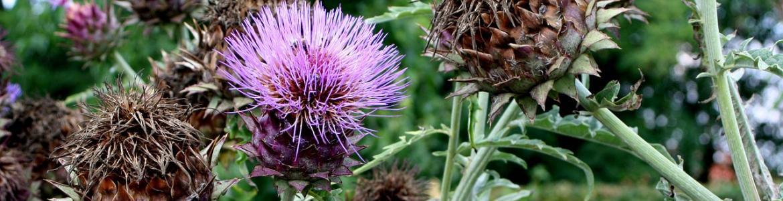 Planta silvestre alcachofa