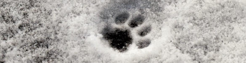 Huella gato nieve