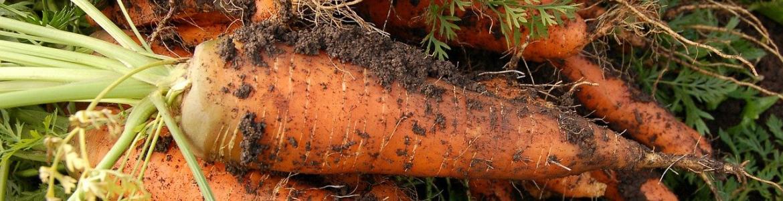 Zanahorias tierra