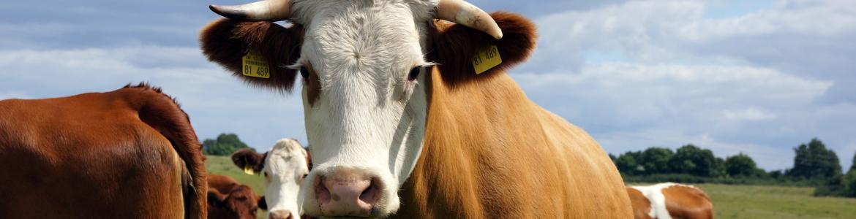 Vacas con crotal