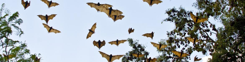 Murciélagos volando