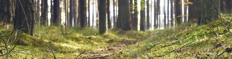 Pradera con pinos