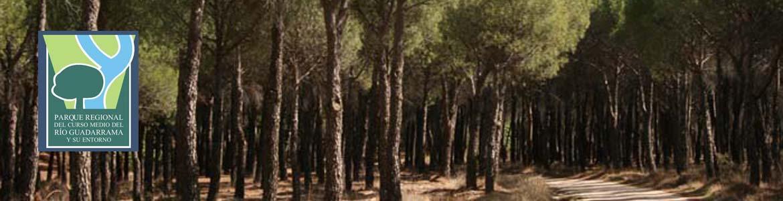 Pinar de pino piñonero en la Senda de Brunete a Navalcarnero
