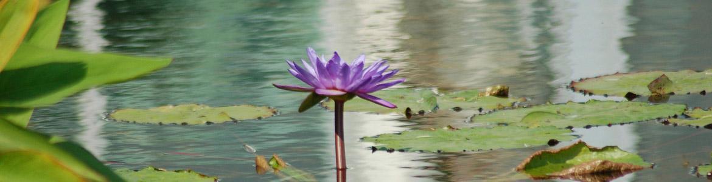 Imagen de un estanque con una flor de loto