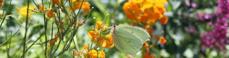 Mariposa limonera sobre flores