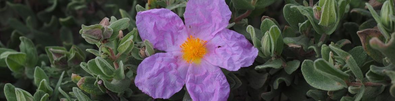 Jara y flor