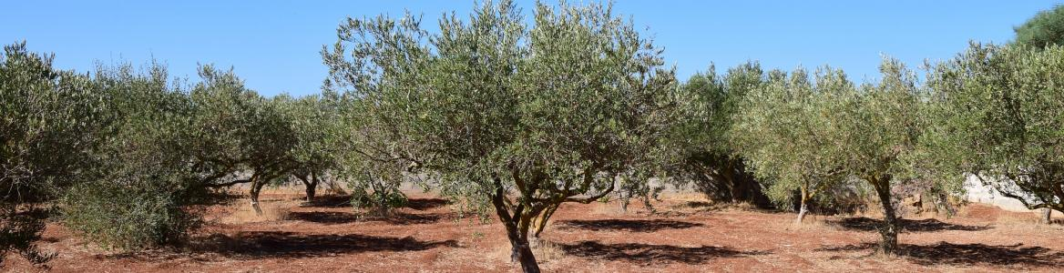 Olivos sobre suelo sin cubierta vegetal
