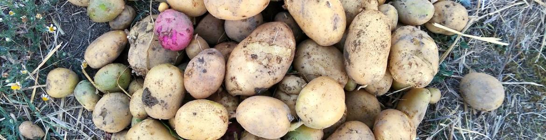Patatas en el campo