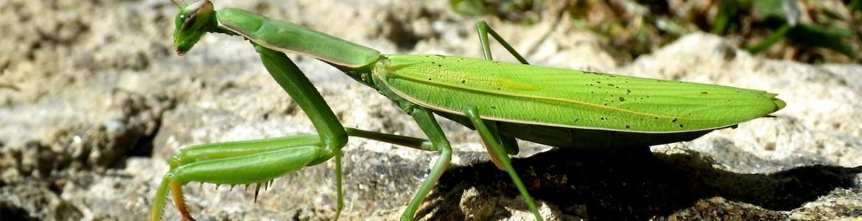 Mantis religiosa en el bosque