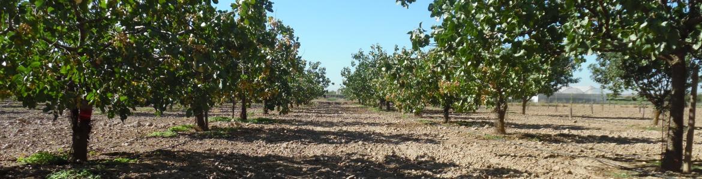 Hileras de pistachos en una plantación