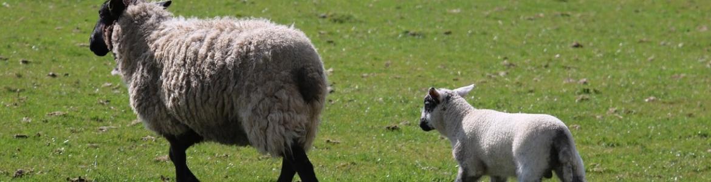 Dos ovejas sobre la hierba