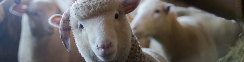 rebaño de ovejas en un interior, una de ellas mirando a cámara