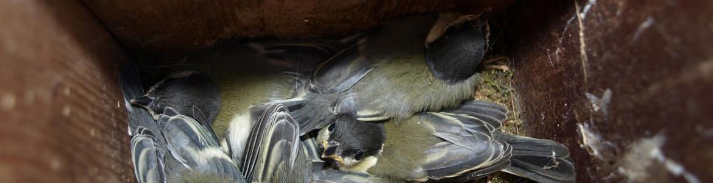 Crías de pájaro en caja nido