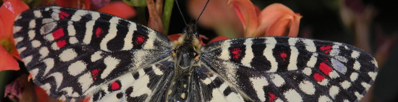 Mariposa Zerynthia rumina