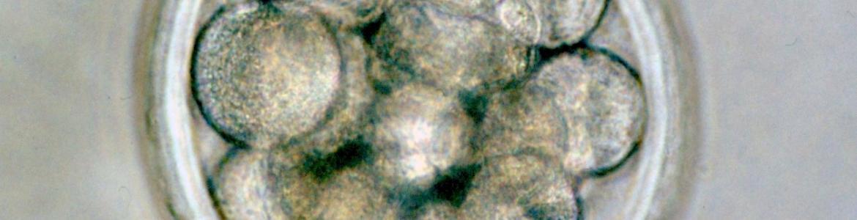 Embrión ovino