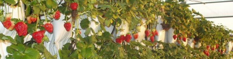 cultivo hidropónico de fresas