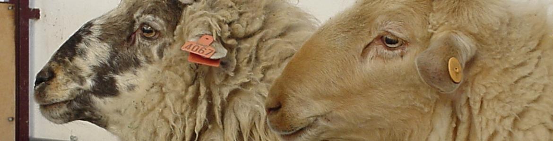 machos ganado ovino, raza rubia y colmenareña