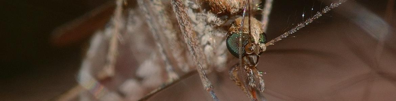 Imagen macro de un mosquito Culex pipiens picando