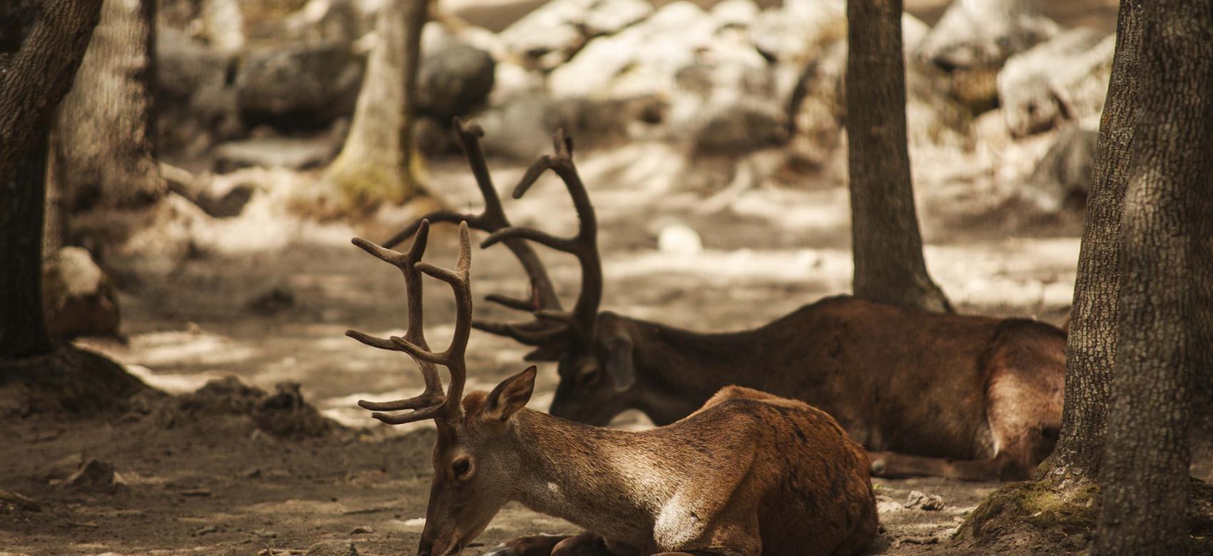 Ciervos en los montes madrileños