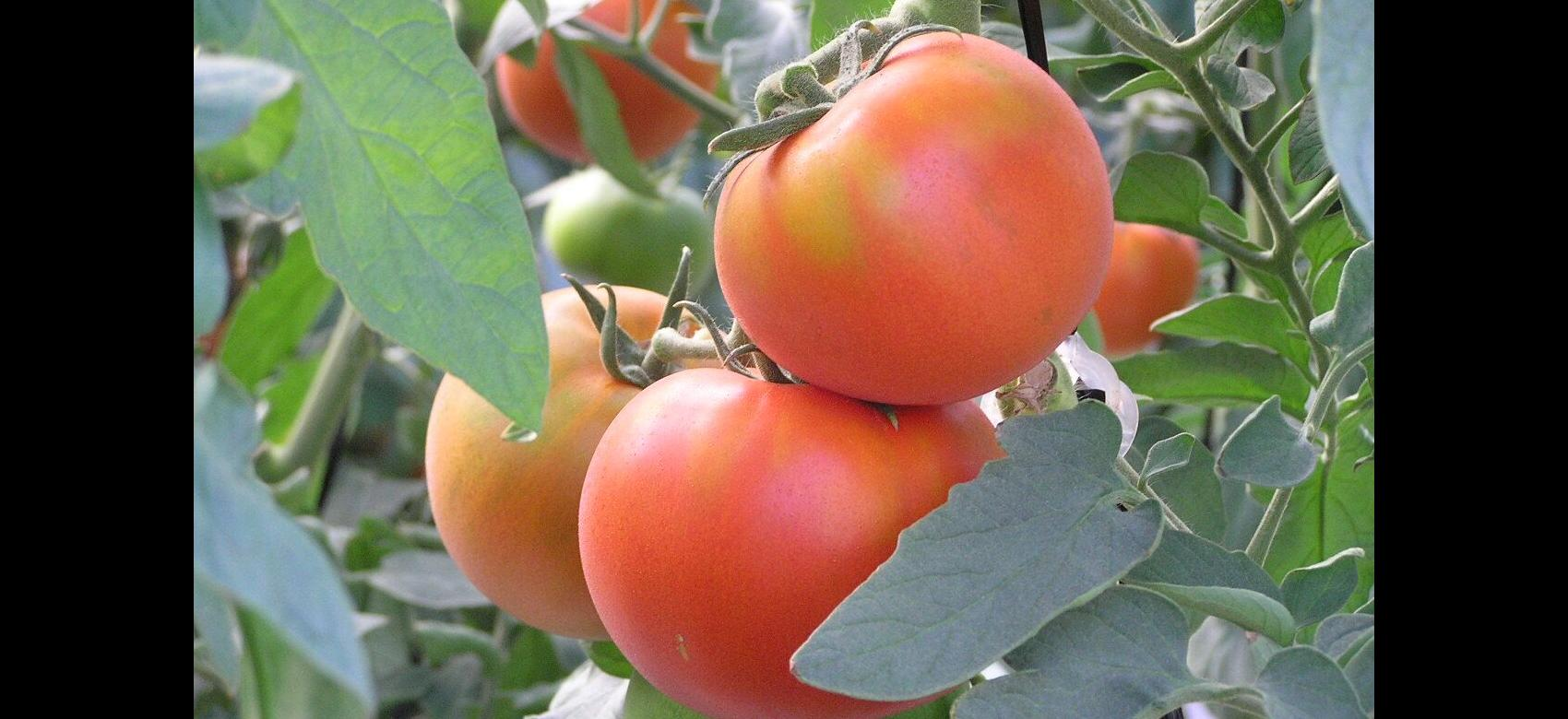 racimo de tomates en tomatera