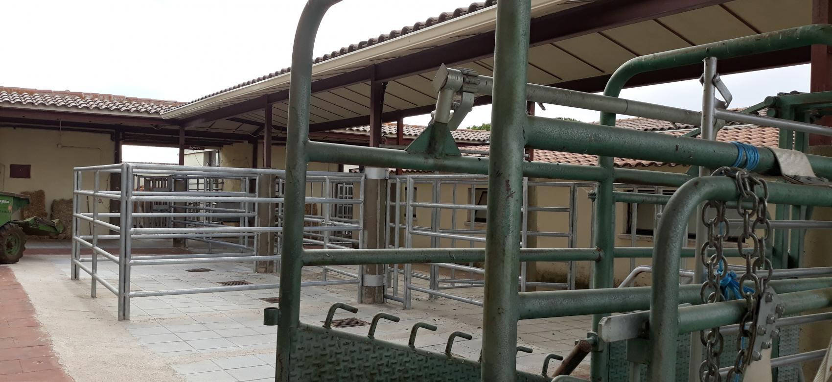 Instalaciones al aire libre para la extracción de semen de ganado bovino