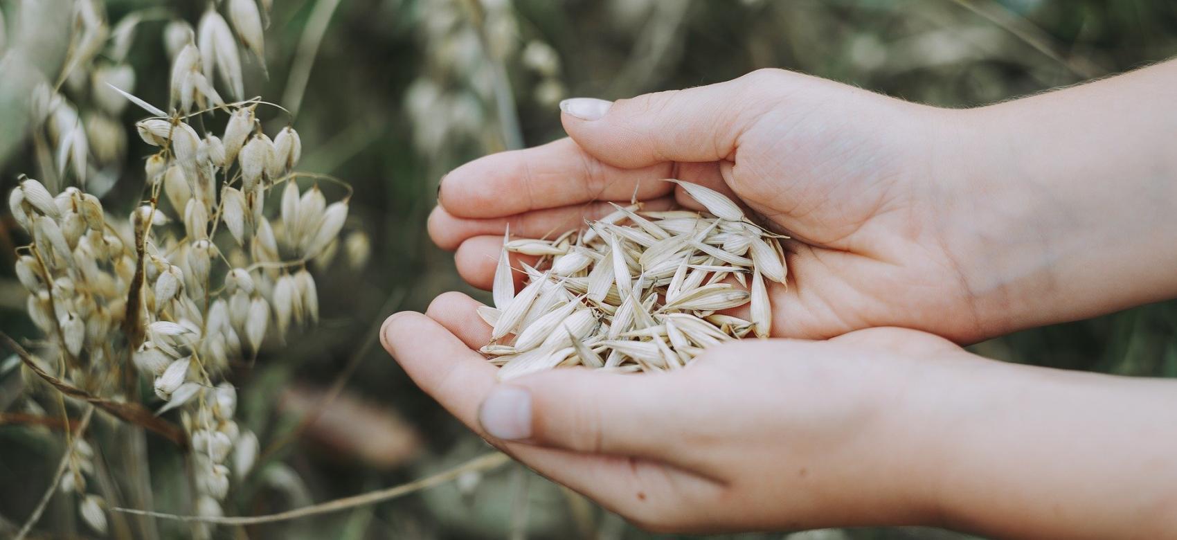 Manos sosteniendo avena en un campo de avena