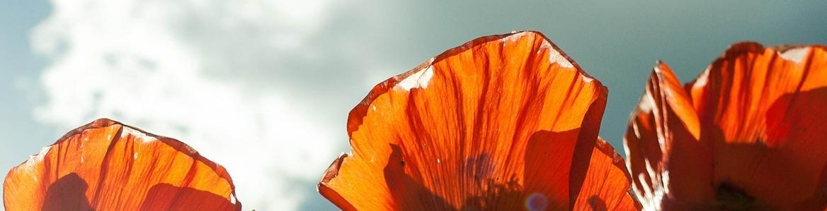 Imagen al contraluz de unos tulipanes