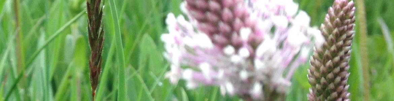foto de campo de plantago con flores de gramíneas