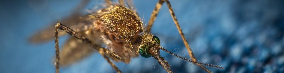 Mosquito sobre una tela azul