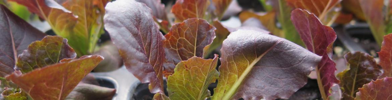 plantones de lechuga