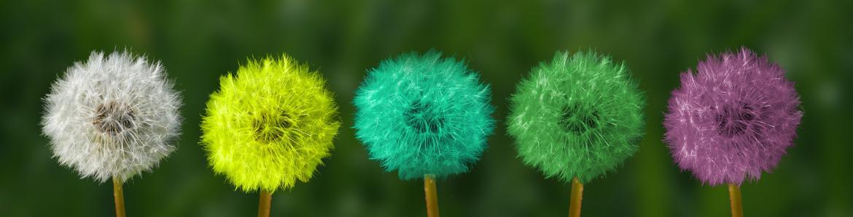 Flores de diente de león de colores