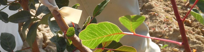 injerto de pistacho