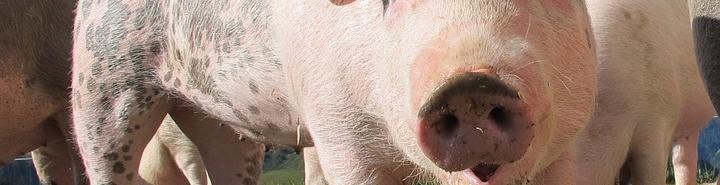 Cerdo en una granja