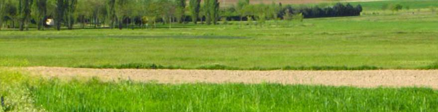 Senda que discurre entre un campo verde con grupo de chopos y otros árboles al fondo