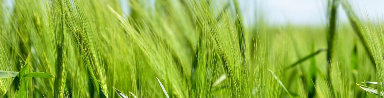 Política Agrícola Común. Imagen de un campo de cebada