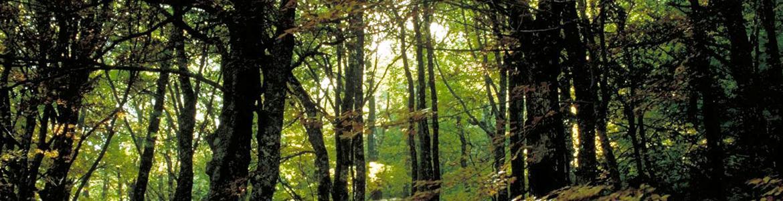 Vista desde el interior del bosque del Hayedo de Montejo