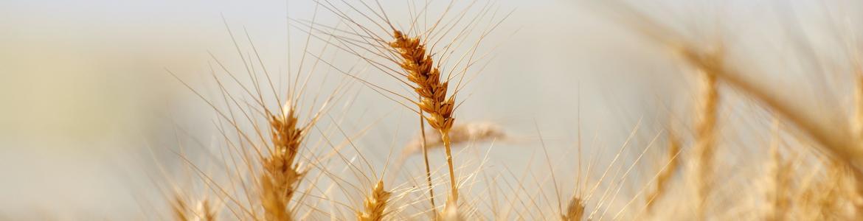 Imagen de un campo con espigas de trigo