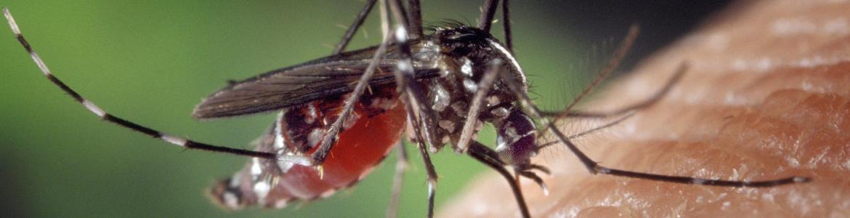Imagen macro de un mosquito tigre chupando sangre