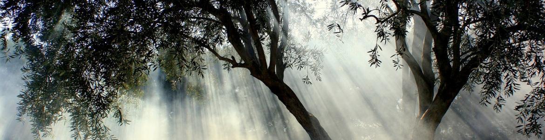 Imagen a contraluz de uno olivo