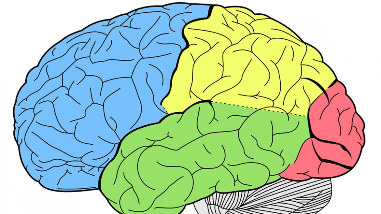 Dibujo de los lóbulos de un cerebro