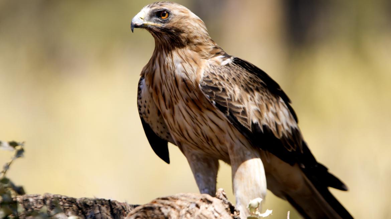 Nace el primer pollo de águila calzada en el Parque Nacional de la Sierra  de Guadarrama | Comunidad de Madrid