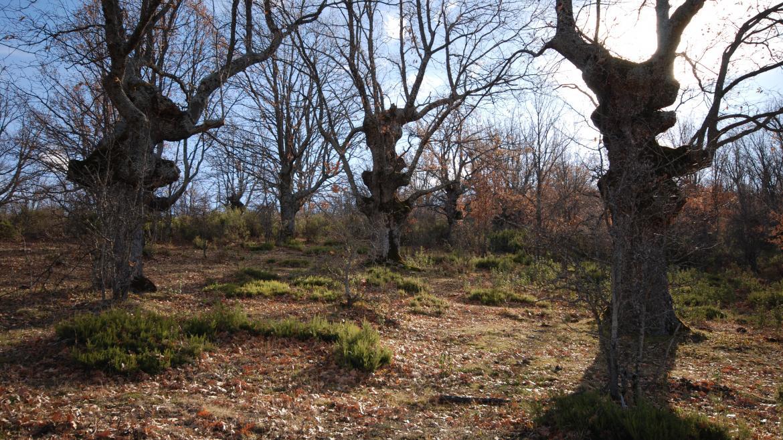 Dehesa de fresnos en la Sierra del Rincón