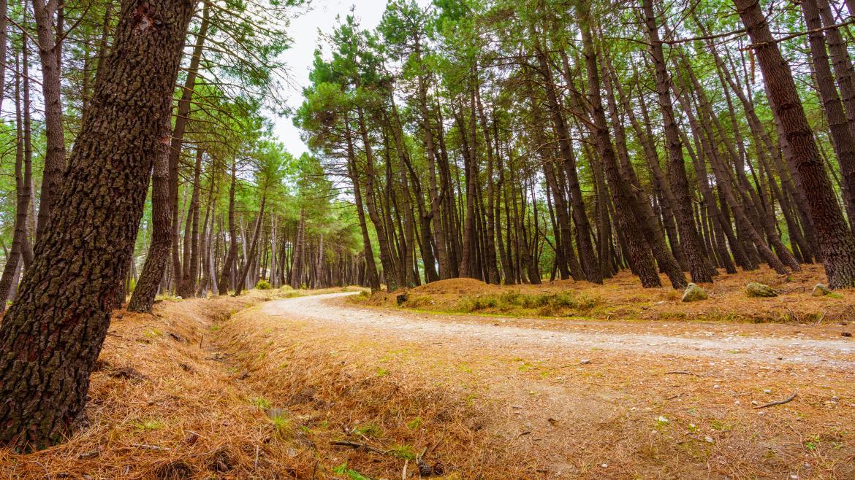 Camino de tierra entre pinos