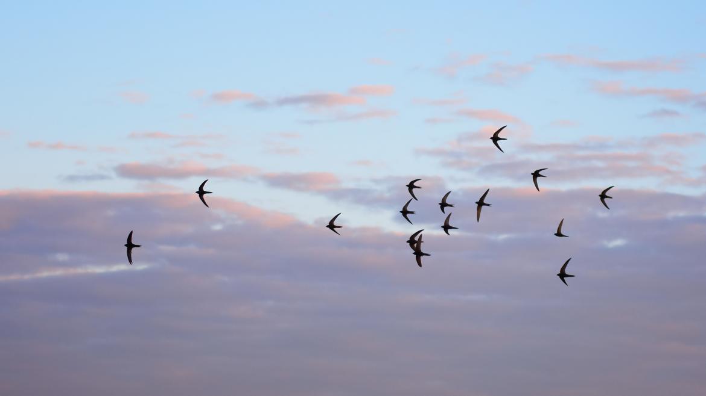 Grupo de vencejos volando sobre un cielo de verano