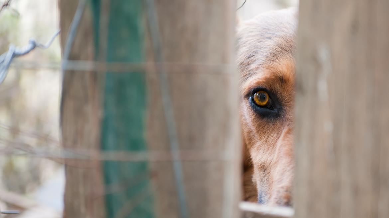 Un perro se entrevé detrás de una puerta de madera o cerca en la calle