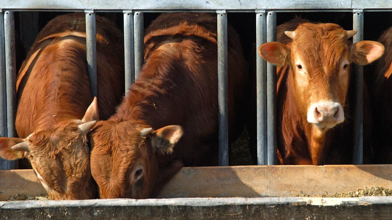 Tres vacas