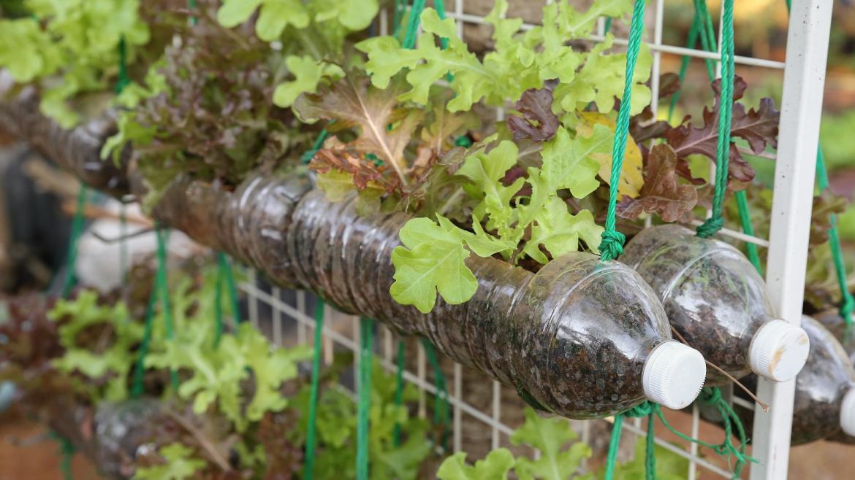 Cultivo de lechuga en botellas de plástico usadas, reutilizar concepto ecológico reciclado