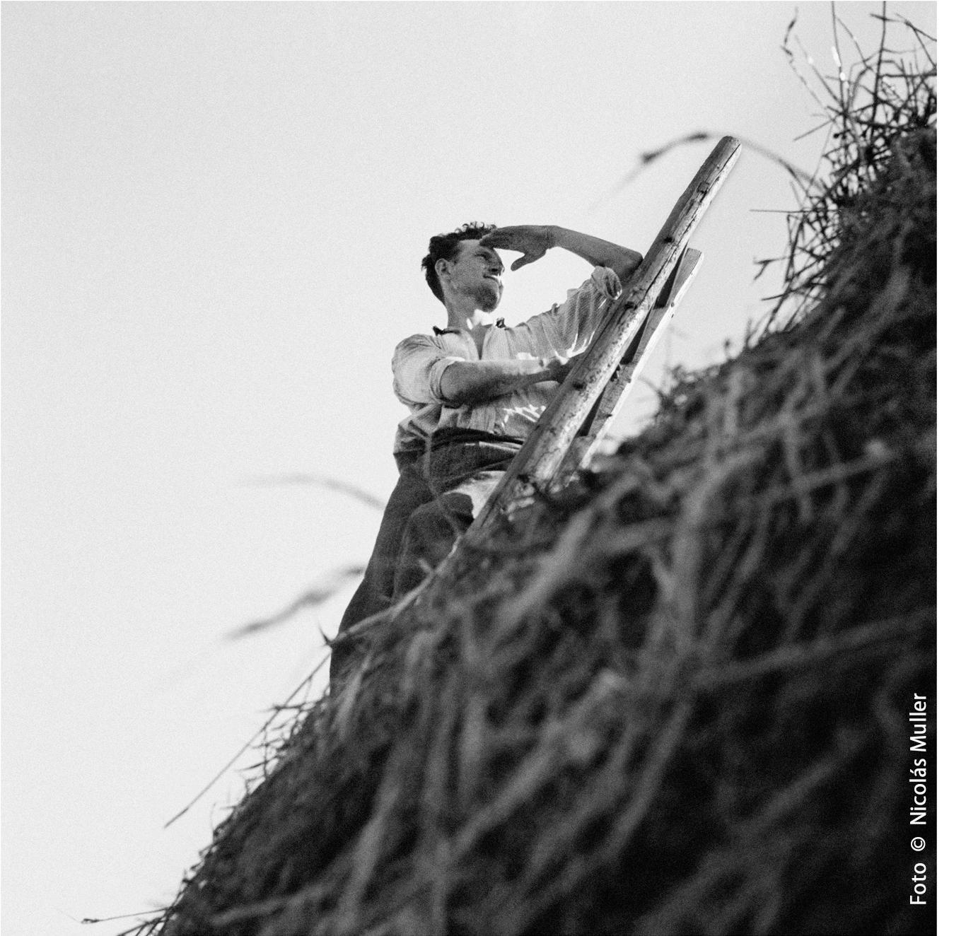 Labrador durante la trilla 1935