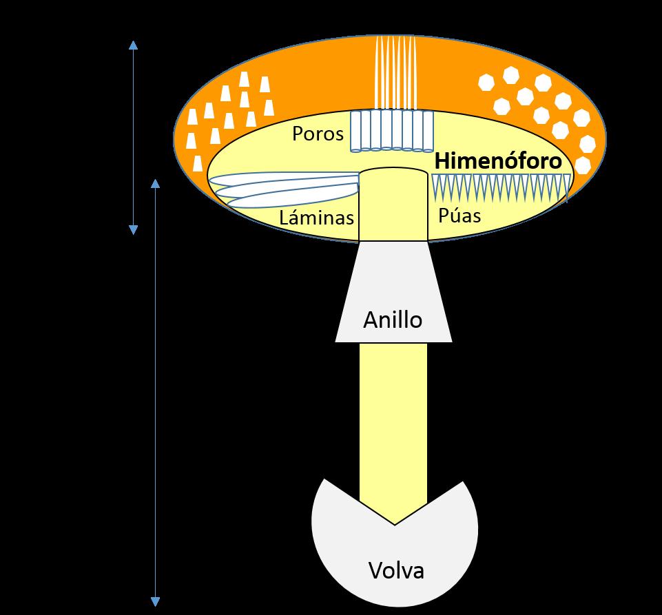 Esquema de las partes de una seta